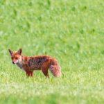 キツネのエキノコックスの対策と感染率と治療の原因について