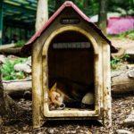 キツネのペットと野生の寿命について