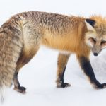 野生のキツネと生息地と分布について