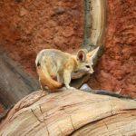 キツネの飼育と動物園について