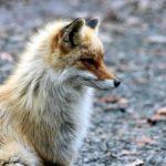 狐のお面はなぜ多いのか?