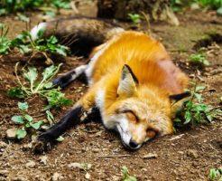 狐 飼育 許可