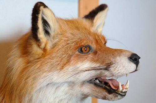 狐 鳴き声 悲鳴 うるさい