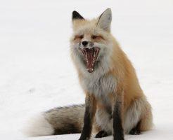 狐 鳴き声 種類