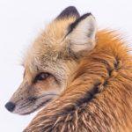 狐の毛皮と養殖について