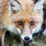 狐をペットとして飼う時の餌について