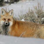 狐の鳴き声と由来について