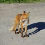 狐が化ける理由とは?