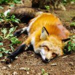 狐の飼育の許可について