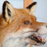 狐の鳴き声と悲鳴がうるさい場合