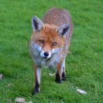 狐の目とその色について