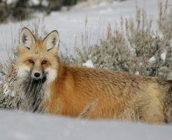 キツネ 雪 突っ込む 狩り